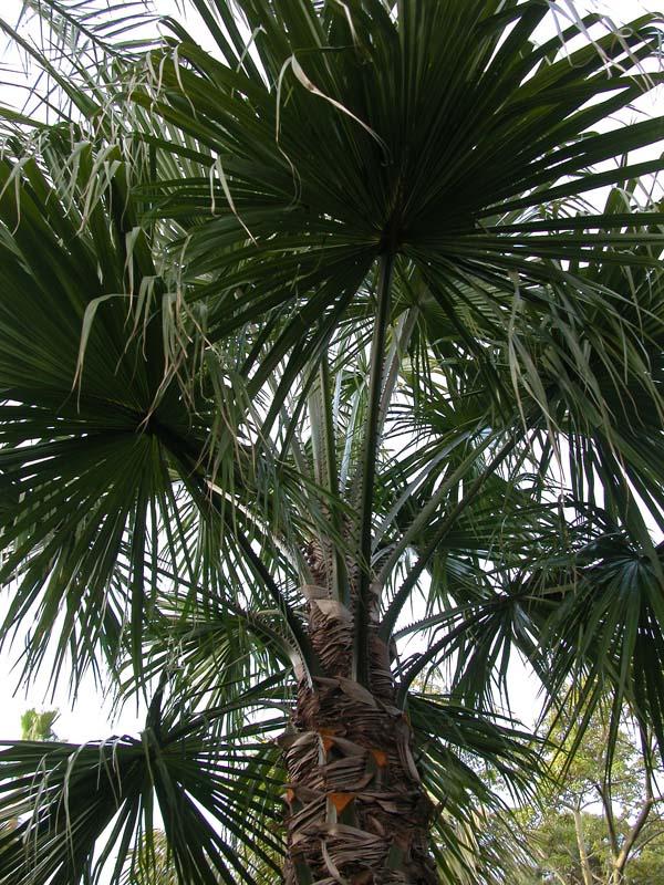 Livistona saribus Awesome palm Nice!